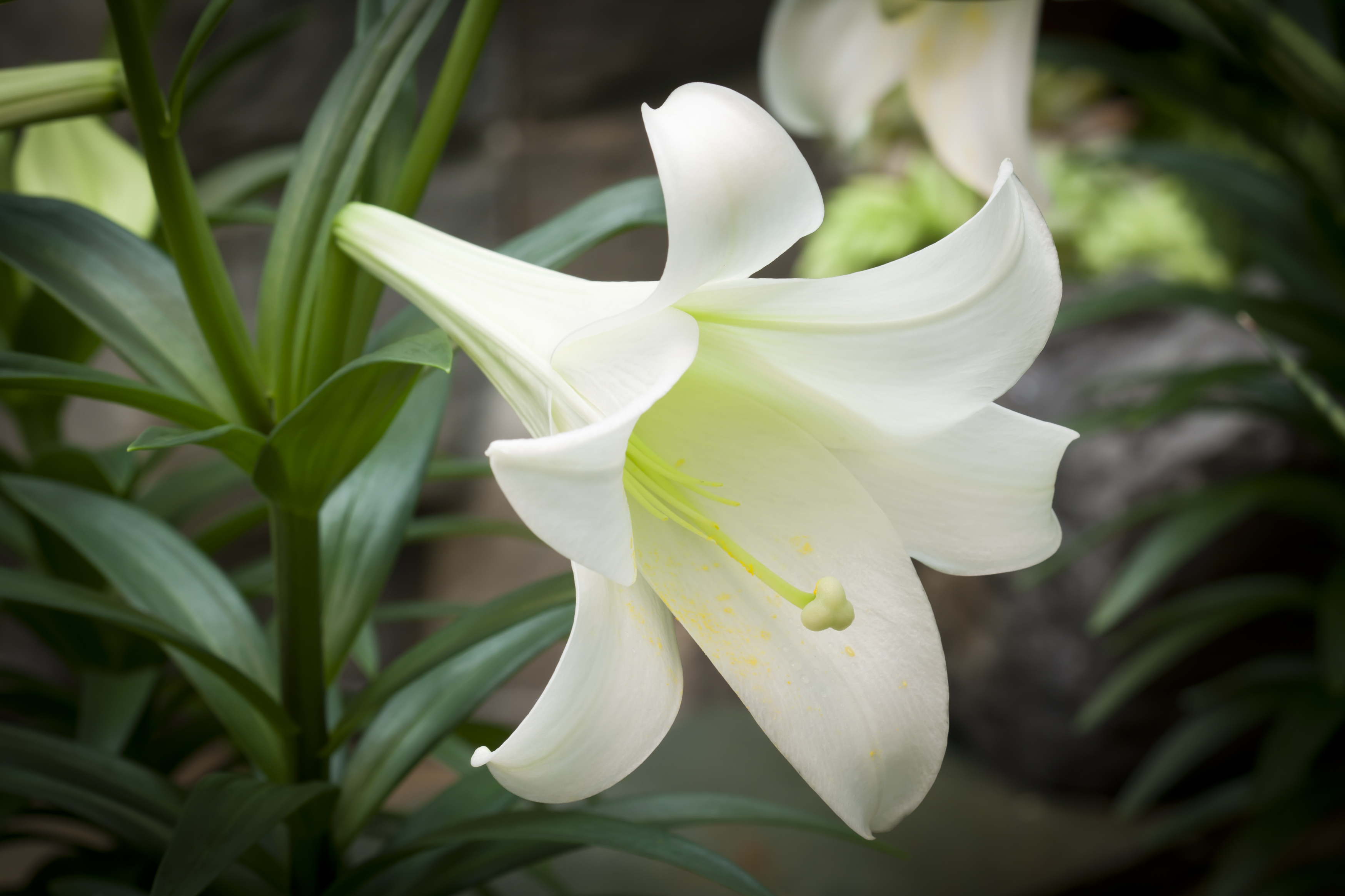This Easter Consider The Lilies And What They Cost
