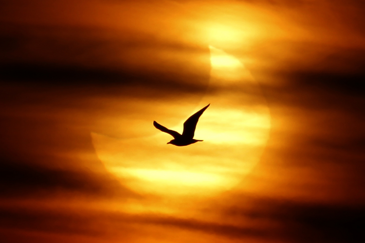 A seagull is silhouetted against the sun at dawn during a partial solar eclipse on Guadalmar Beach in Malaga, Spain, Jan. 4. The partial eclipse was visible near sunrise over most of Europe and northeastern Asia. (CNS photo/Jon Nazca, Reuters) (Jan. 5, 2 011)