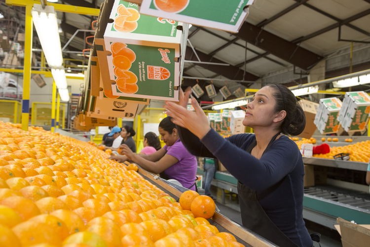 Oranges are sorted and packed by a worker in late February at the IMG Citrus packinghouse in Vero Beach, Fla. Labor Day, honoring U.S. workers, is observed Sept. 7 this year. (CNS photo/Jim West)