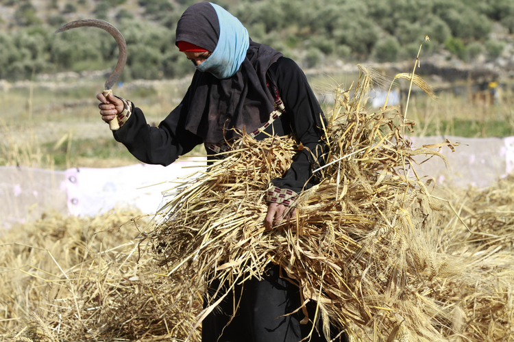"A Palestinian woman harvests wheat by hand on a farm near Salfit, West Bank, in 2016. Education is essential in enabling women in every country ""to become dignified agents of their own development,"" said Archbishop Bernardito Auza, the Vatican's permanent observer to the United Nations Oct. 6 at U.N. headquarters in New York. (CNS photo/Alaa Badrneh, EPA)"