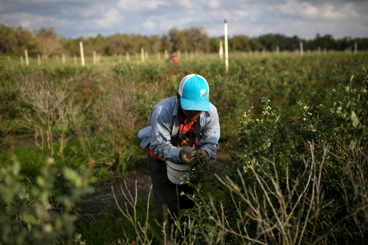 A Mexican migrant worker picking blueberries at a farm in Lake Wales, Fla. (CNS photo/Marco Bello, Reuters)
