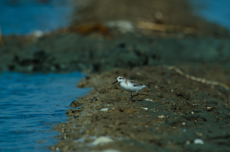 The spoon-billed sandpiper, seen here in Thailand, is among the world's most endangered birds. (iStock/sirichai_raksue)