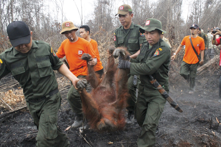 FIRE HAZARD. Authorities evacuate a 19-year-old female orangutan from a burning forest near Sampit, Central Kalimantan, on Oct. 28.