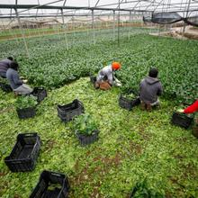 Indian farmworkers collect vegetables that the company hopes to sell in the market in Sant'Angelo Romano, Italy, in this April 22, 2020, photo. (CNS photo/Guglielmo Mangiapane, Reuters)