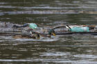 "Ducks swim past plastic bottles and other debris floating on the Tiber River in Rome July 28, 2019. In his 2015 encyclical, ""Laudato Si', on Care for Our Common Home,"" Pope Francis said that ""the earth, our home, is beginning to look more and more like an immense pile of filth."" (CNS photo/Paul Haring)"