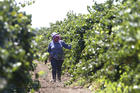 A farm worker trims grape vines in a vineyard in Clarksburg, Calif. In a unanimous ruling Monday, Nov. 27, 2017, the high court in California upheld a law that aims to get labor contracts for farmworkers whose unions and employers do not agree on wages and other working conditions. (AP Photo/Rich Pedroncelli, File)